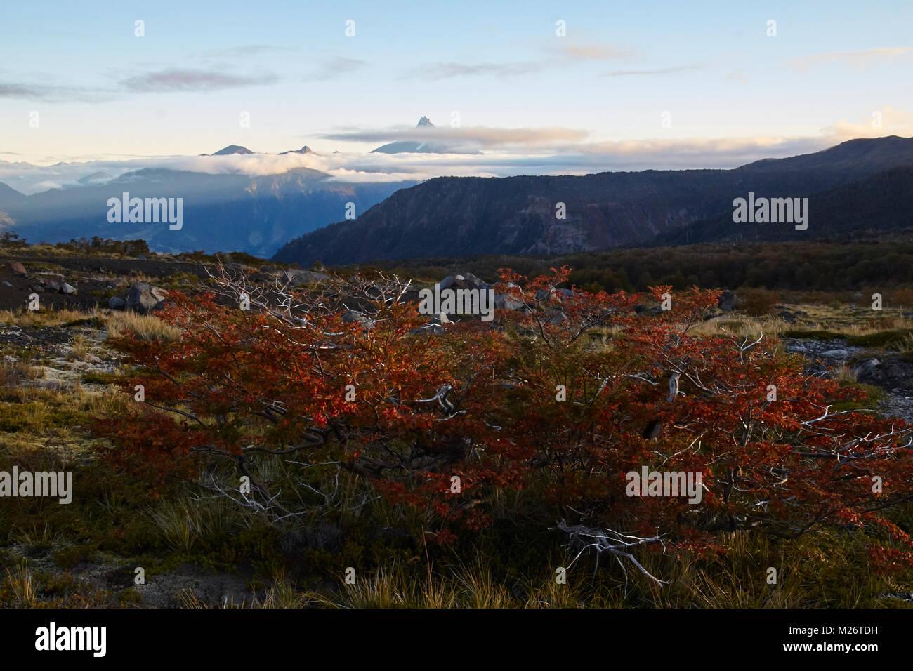 Ñirre bush al tramonto con il vulcano Puntiagudo in background Immagini Stock