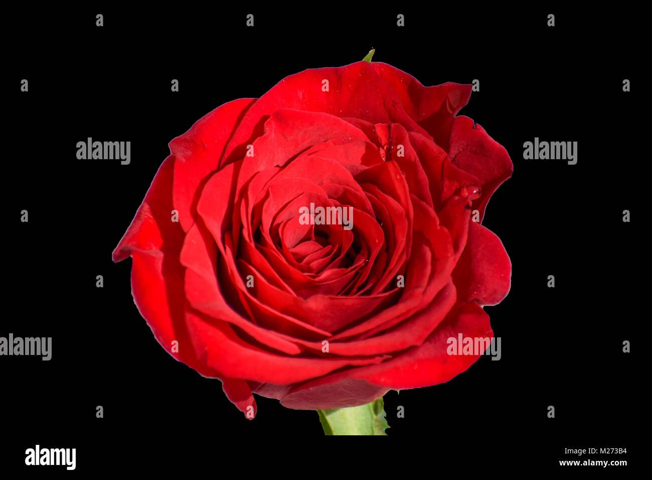 Rosa Rossa Con Sfondo Nero Foto Immagine Stock 173489320 Alamy