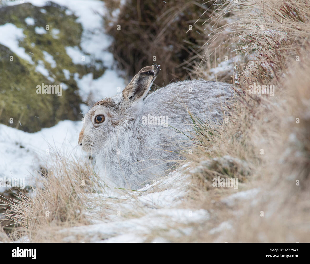 Mountain lepre Lepus timidus nel loro bianco cappotto invernale in inverno con un sfondo innevato sull'altopiano Immagini Stock