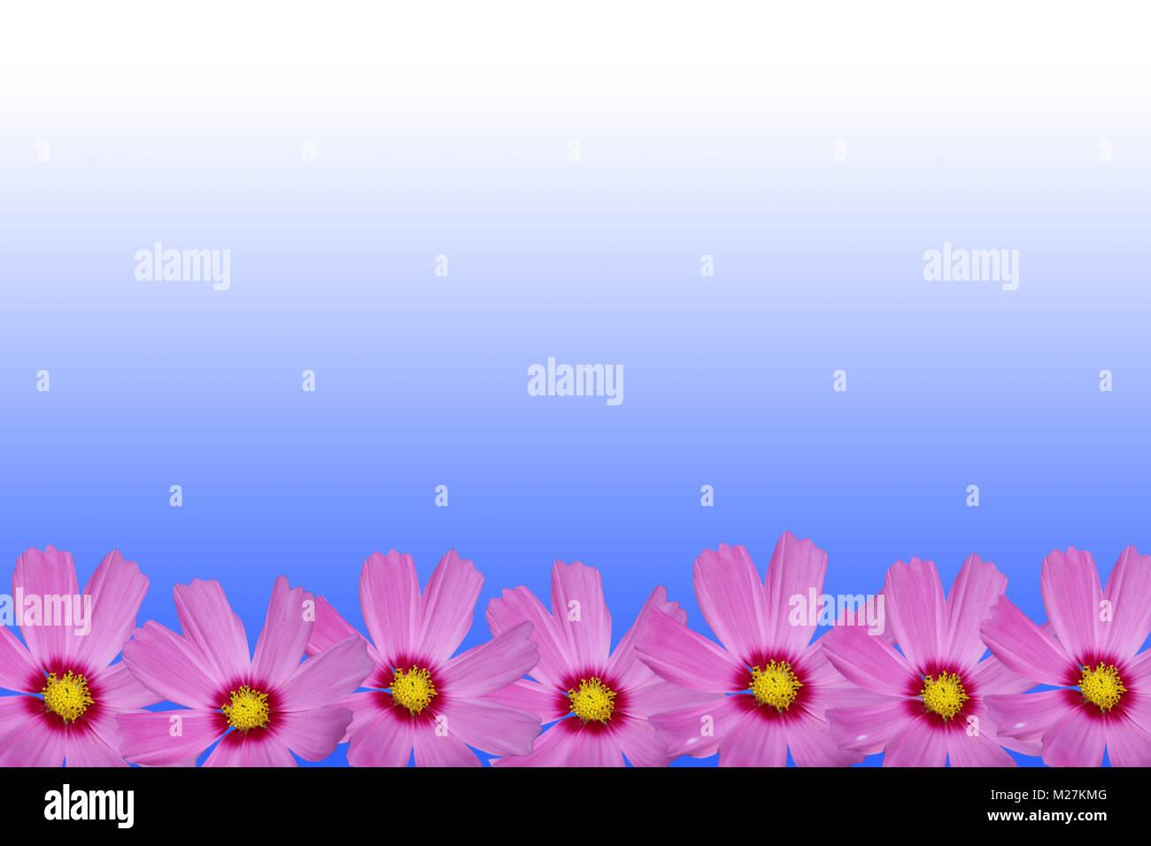 Rosa Cosmo Cornice Di Fiori Su Sfondo Blu Foto Immagine Stock