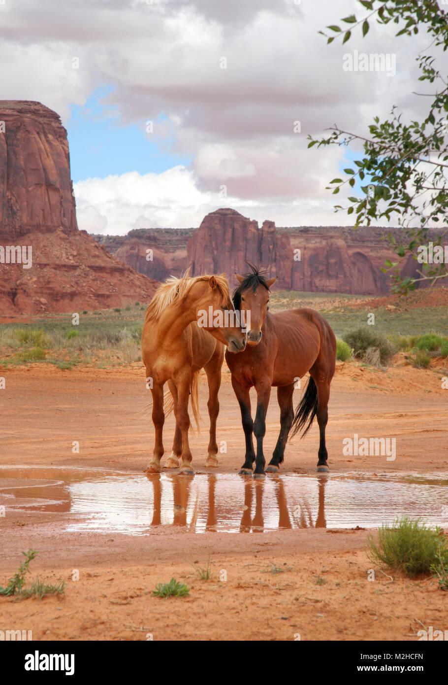 due cavalli selvatici insieme in un buco d'acqua con le teste chiudere mostrando affetto Foto Stock