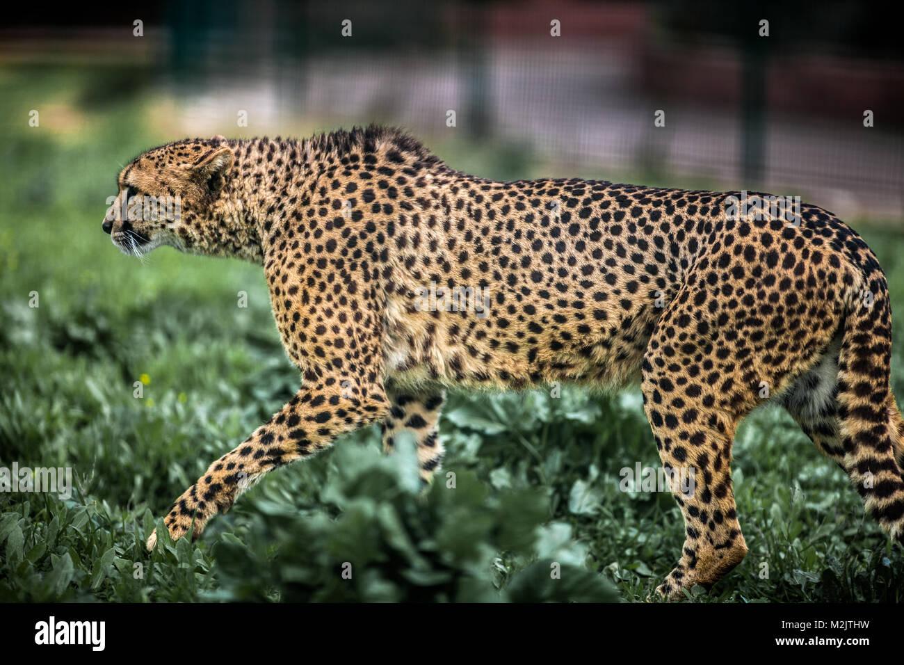 Bella Wild ghepardo attenta a piedi su campi verdi, Close up Immagini Stock