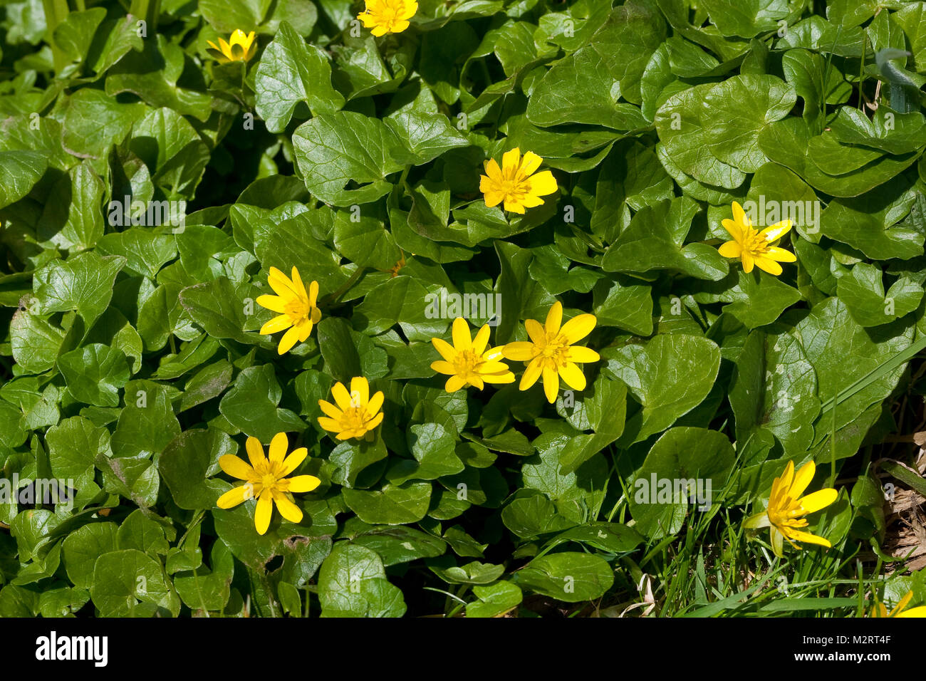 Scharbockskraut, Scharbocks-Kraut, Scharbockkraut, Frühlings-Scharbockkraut, Scharbock-Kraut, Ranunculus ficaria, Immagini Stock