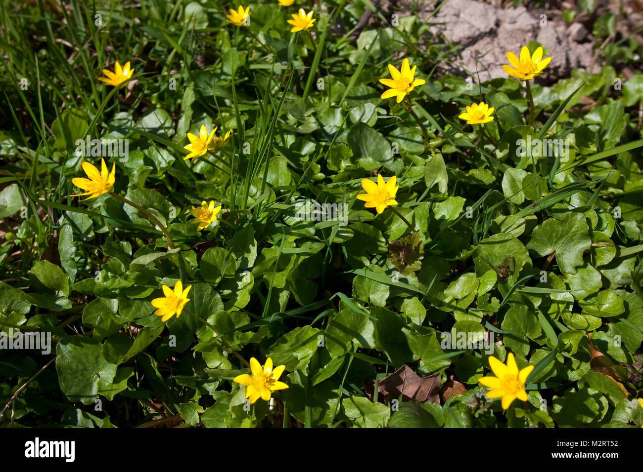 Scharbockskraut, Scharbocks-Kraut, Frühlings-Scharbockkraut, Ranunculus ficaria, Ficaria verna, Lesser Celandine, Immagini Stock