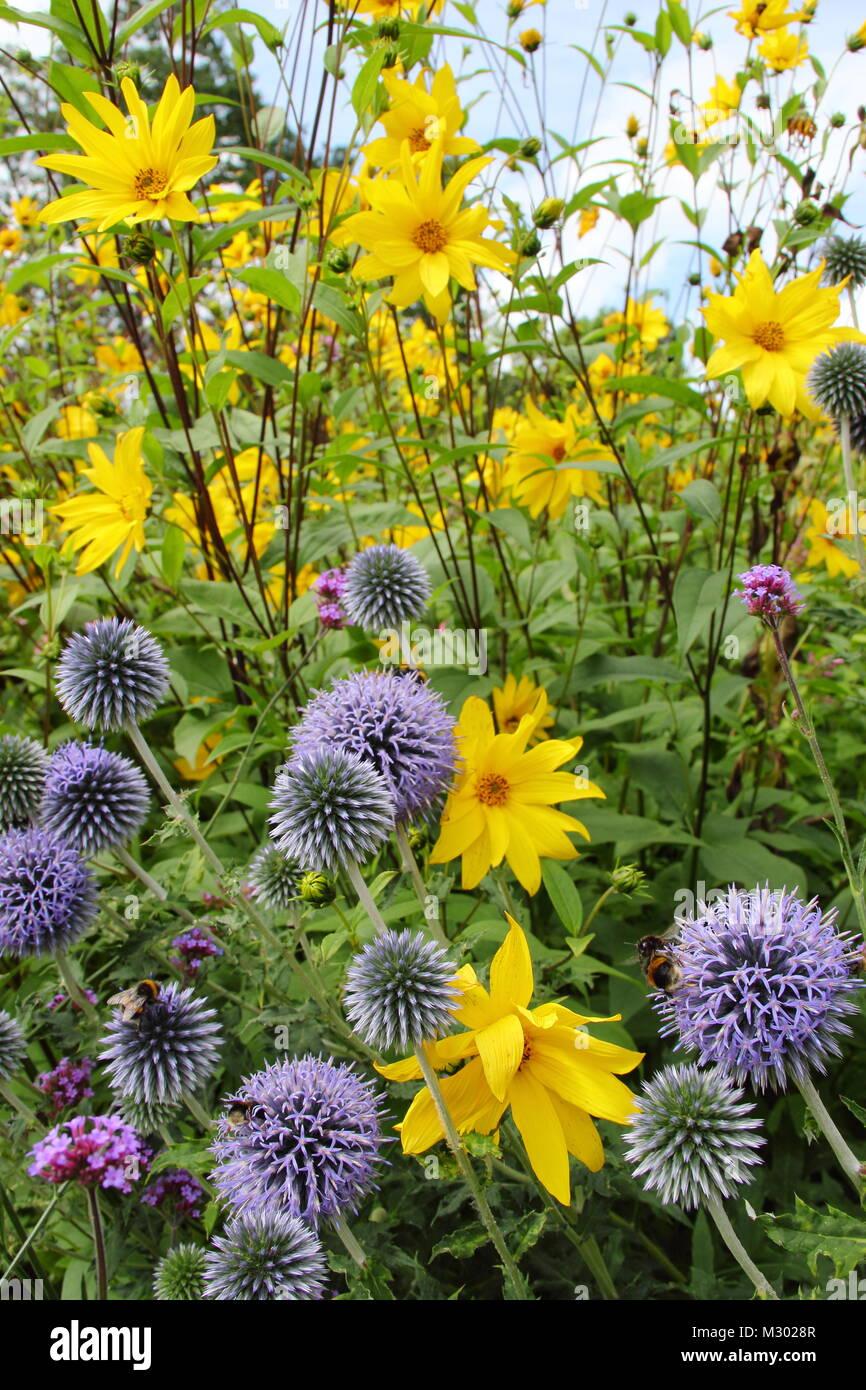 Echinops bannaticus rudbeckia e. Globo di cardi (ecinops) e rudbeckia in fiore il confine di un giardino inglese nella tarda estate del Regno Unito Foto Stock