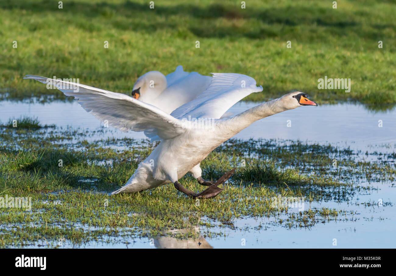 Bianco Cigno (Cygnus olor) lo sbarco in un campo allagato in inverno in Inghilterra, Regno Unito. Immagini Stock