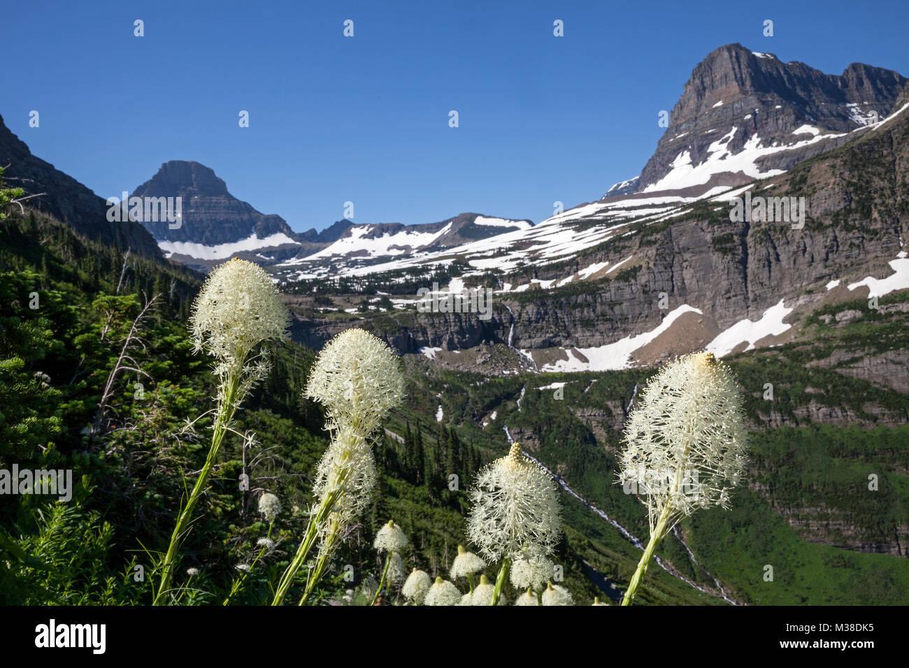 MT00103-00...WASHINGTON - Beargrass fiorire lungo il muro del giardino Trail in Waterton/Glacier Parco internazionale Immagini Stock