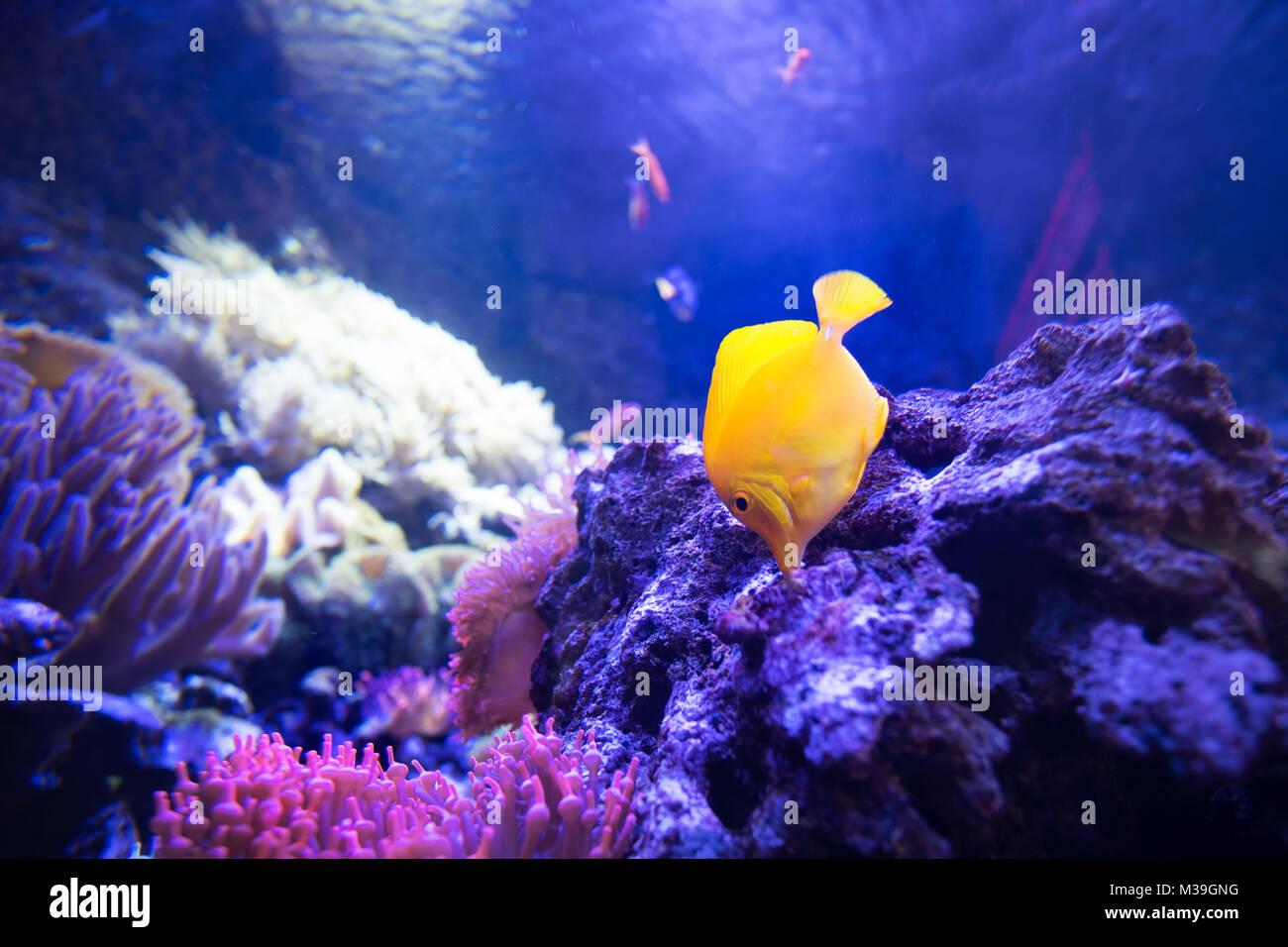 Codolo giallo pesce in shallow reefs di corallo mangiare da rocce vive Immagini Stock