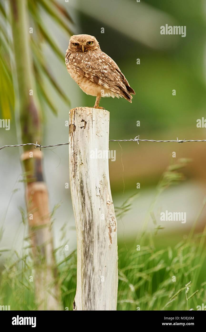 Scavando la civetta (Athene cunicularia) arroccato su di un palo da recinzione, Sucandi, Suzano, Sao Paulo, Brasile Immagini Stock