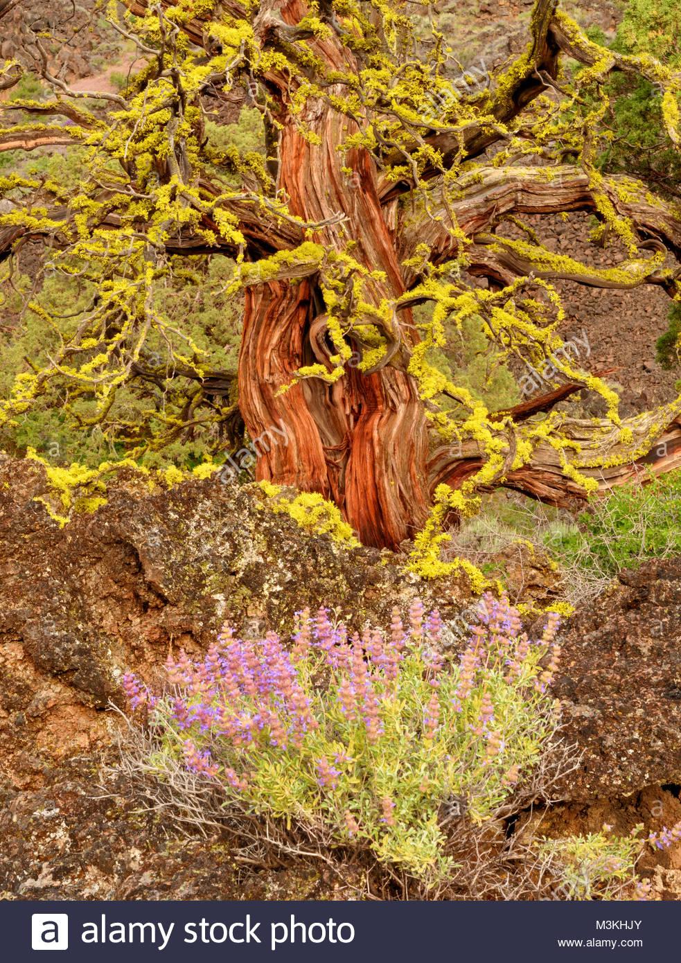 Purple Sage e la vecchia Western Ginepro, letti di Lava monumento nazionale, California Immagini Stock