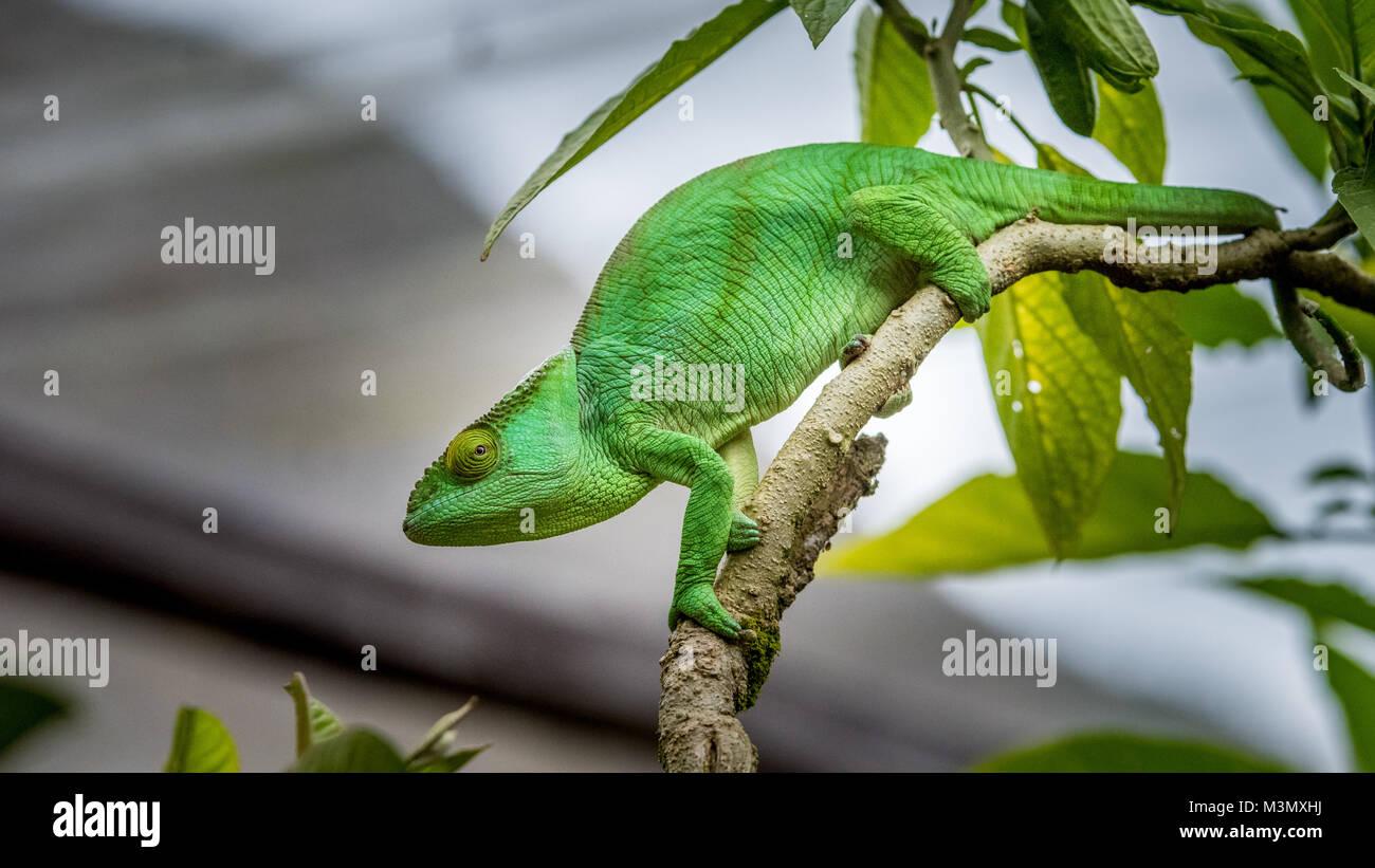 Verde Camaleonte nella struttura ad albero, Madagascar Immagini Stock