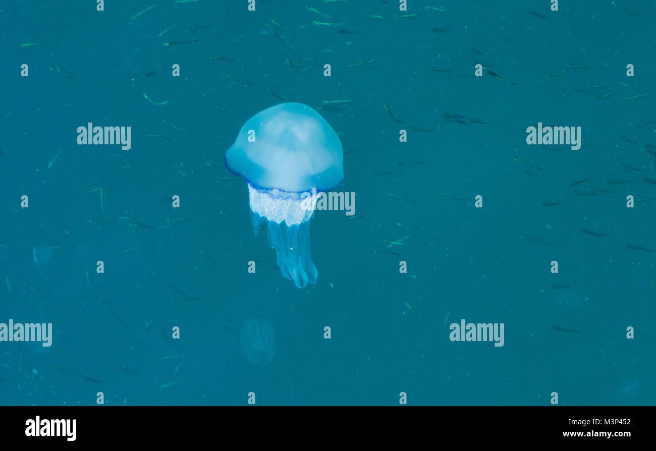 Bella blu brillante meduse in acqua blu mare con po' di sfondo di pesce Immagini Stock