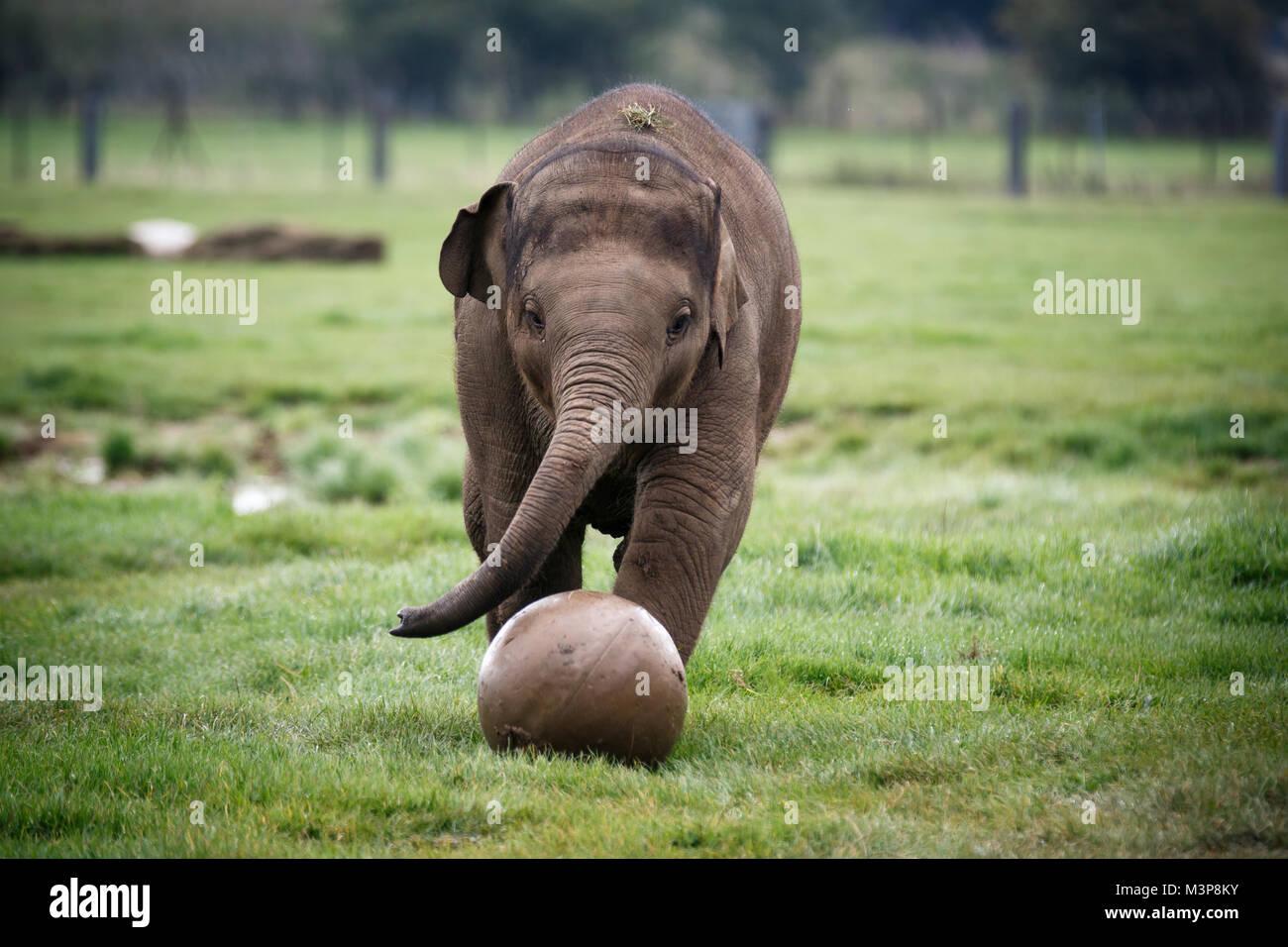 Elefante asiatico a ZSL Whipsnade Zoo Immagini Stock