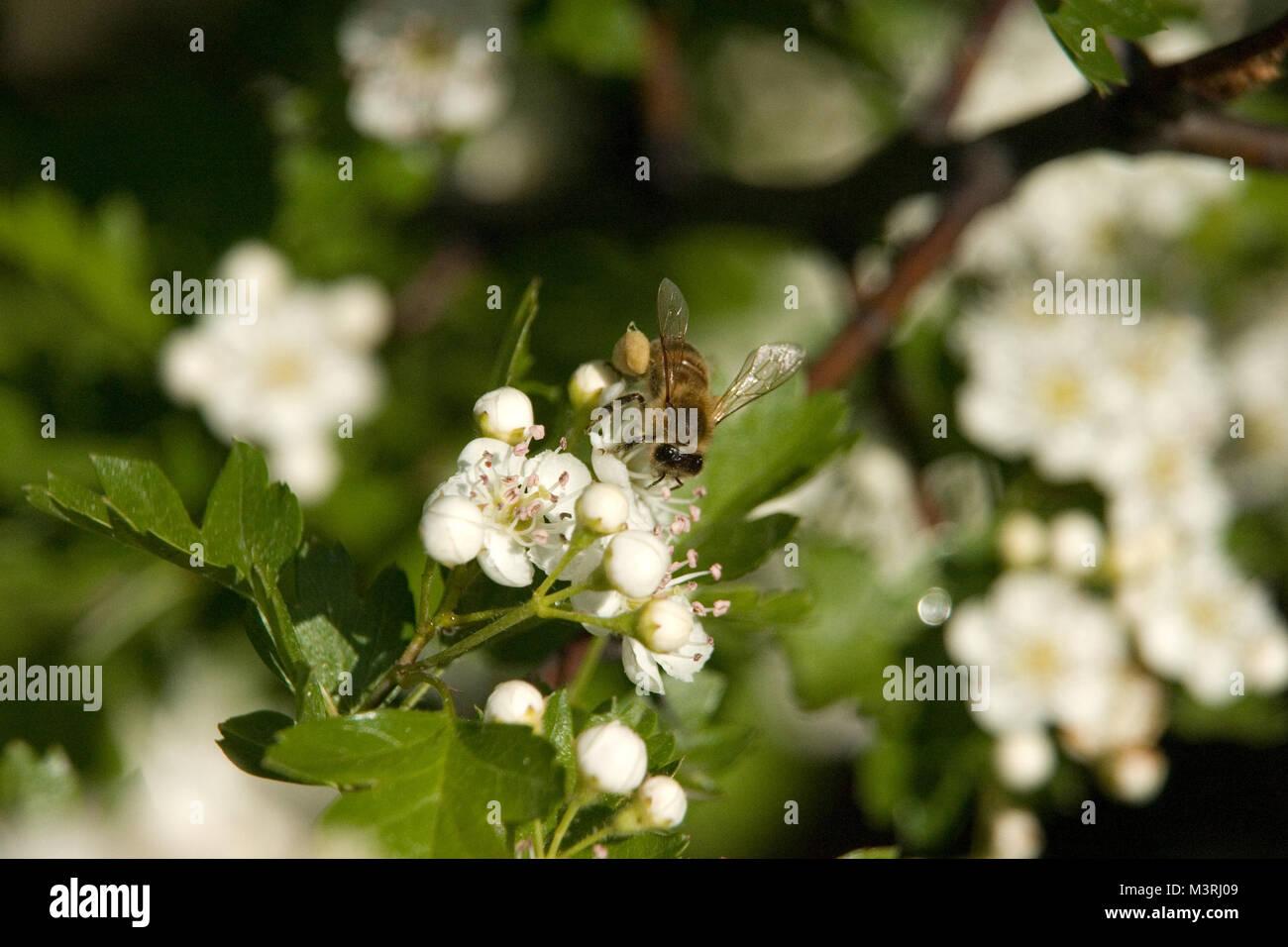 Il melo ospita lavorando bee. Primo piano sul bee impollinare i fiori bianchi con ciuffo di stami gialli. Una messa Immagini Stock