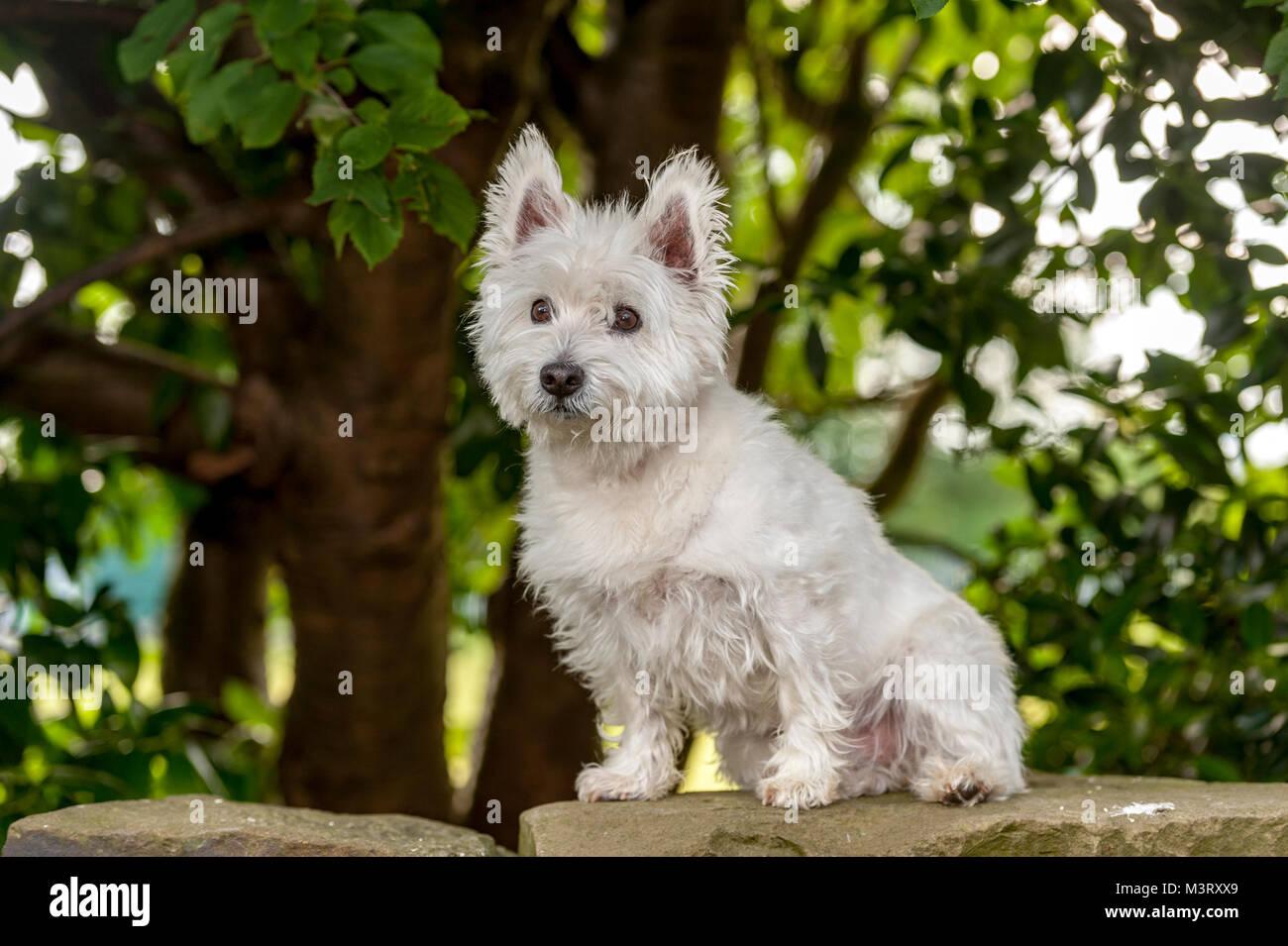 West Highland White Terrier comunemente noto come il Westie, è una razza di cane dalla Scozia con un distintivo bianco cappotto duro con un po' di soft whi Foto Stock