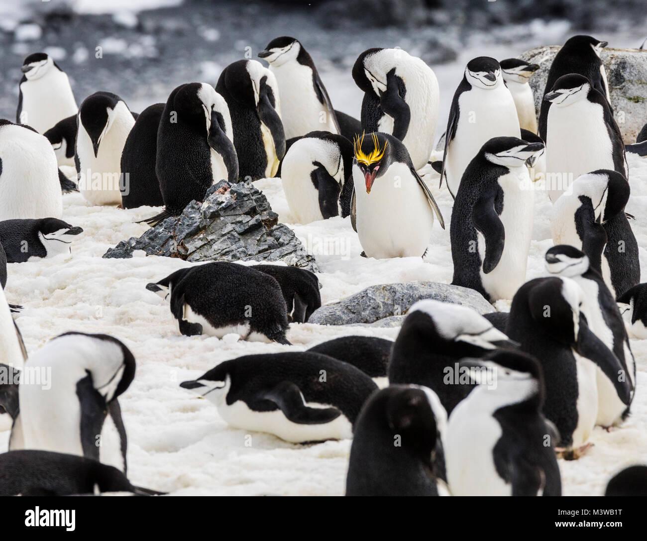 Lone maccheroni il pinguino su rookery con pinguini Chinstrap; Pygoscelis antarcticus; inanellato penguin; barbuto Immagini Stock