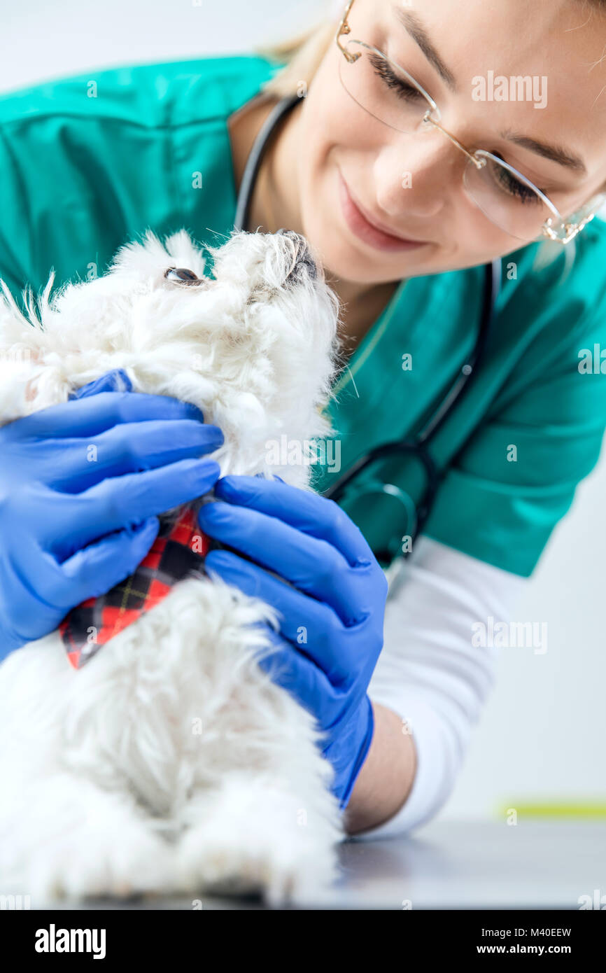 Vet femmina esamina il cane e il cane gode di esso. Visualizzazione verticale Immagini Stock