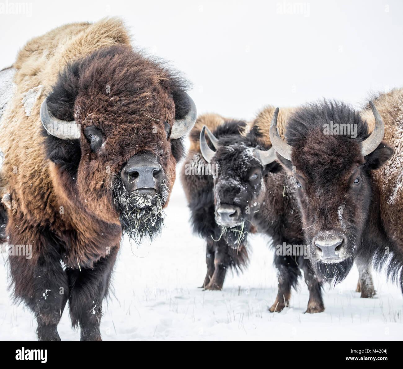 Le pianure Bison (Bison bison bison) o bufalo americano, in inverno, Manitoba, Canada. Immagini Stock
