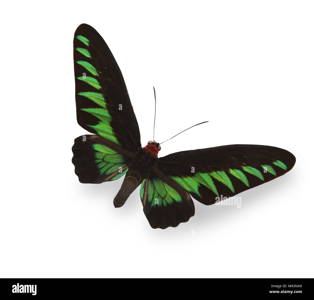 Verde Tropical butterfly con ombra Immagini Stock