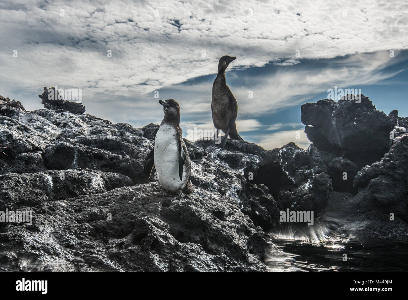Le Galapagos Penguin e Flightless Cormorant in appoggio sulle rocce, Seymour, Galapagos, Ecuador Immagini Stock