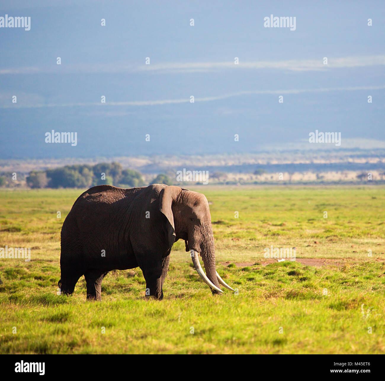 Elefanti sulla savana. Safari in Amboseli, Kenya, Africa Foto Stock
