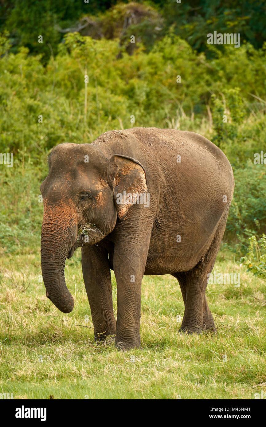 Il governo dello Sri Lanka elephant (Elephas maximus maximus) pascolare,Minneriya National Park,Nord provincia centrale,Sri Immagini Stock