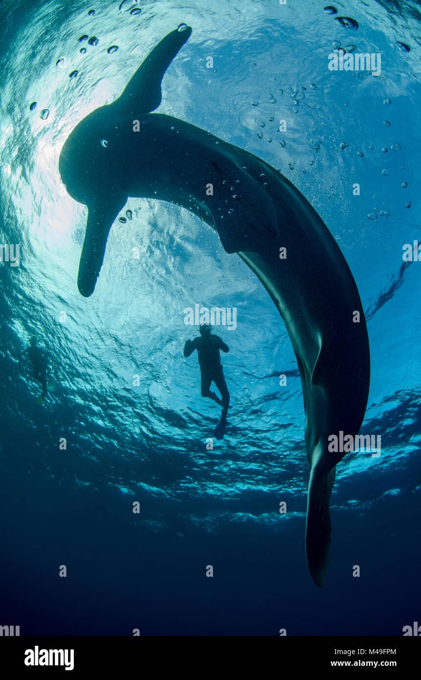 Squalo balena (Rhincodon typus) e subacquei visto dal di sotto, Cenderawasih Bay, Papua occidentale. Indonesia. Immagini Stock