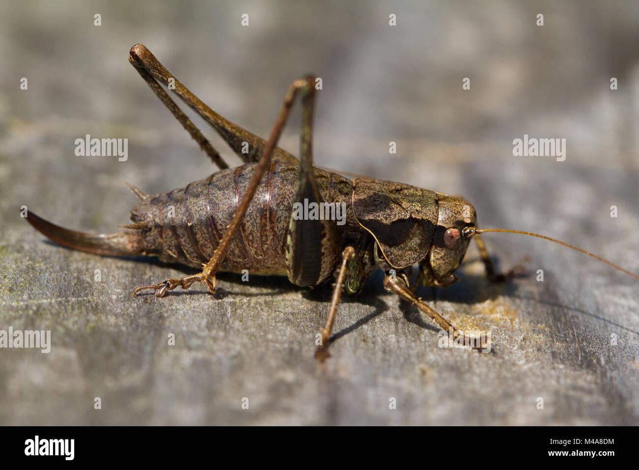Femmina bussola scuro-cricket (Pholidoptera griseoaptera) crogiolarvi al sole su una passerella in legno Immagini Stock