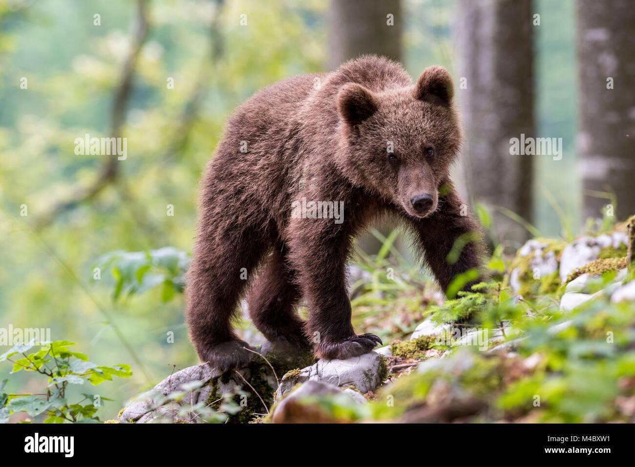 Unione l'orso bruno (Ursus arctos arctos),animale giovane nella foresta,regione Notranjska,Slovenia Immagini Stock