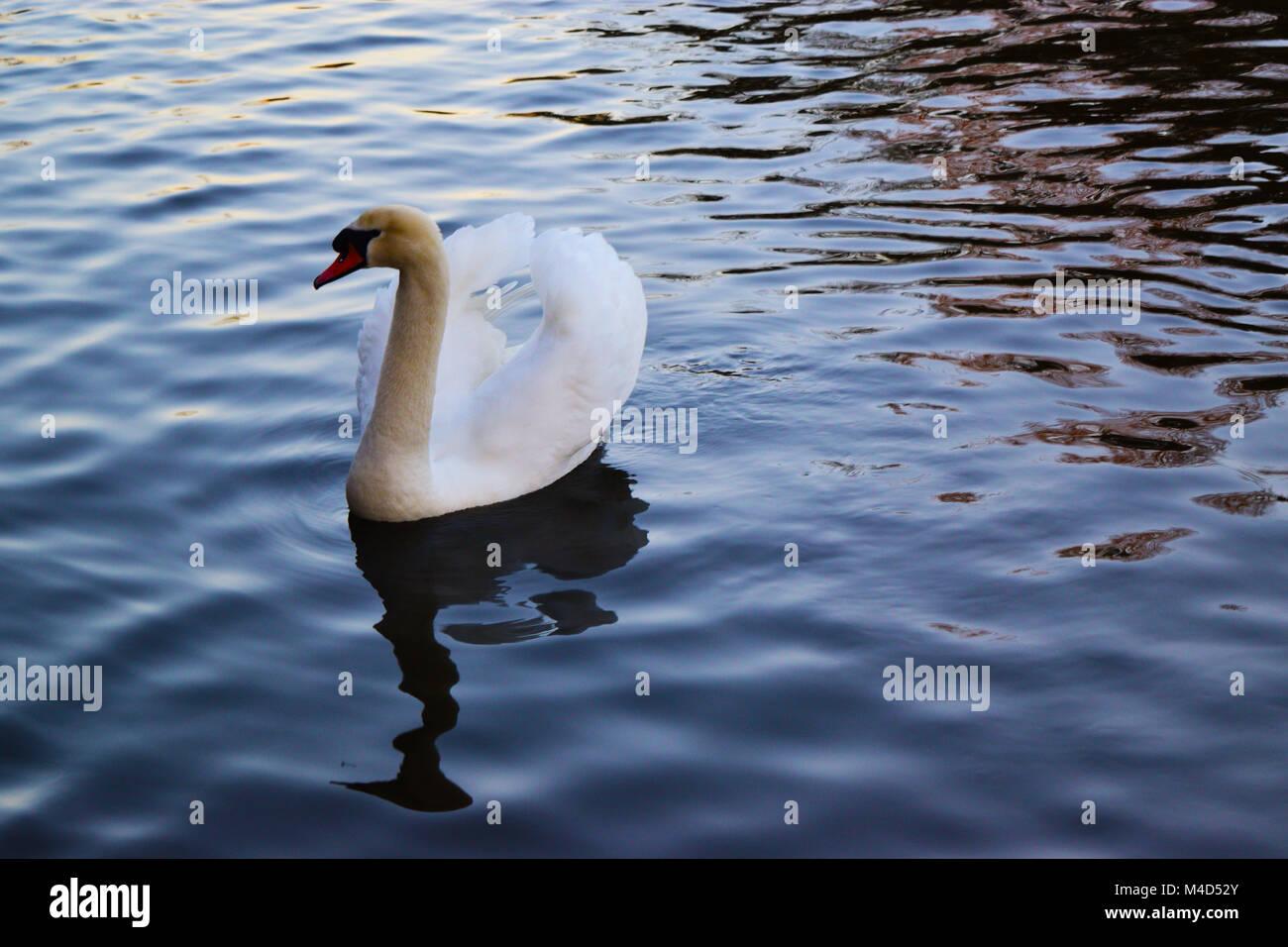 Bellissimo cigno bianco Immagini Stock