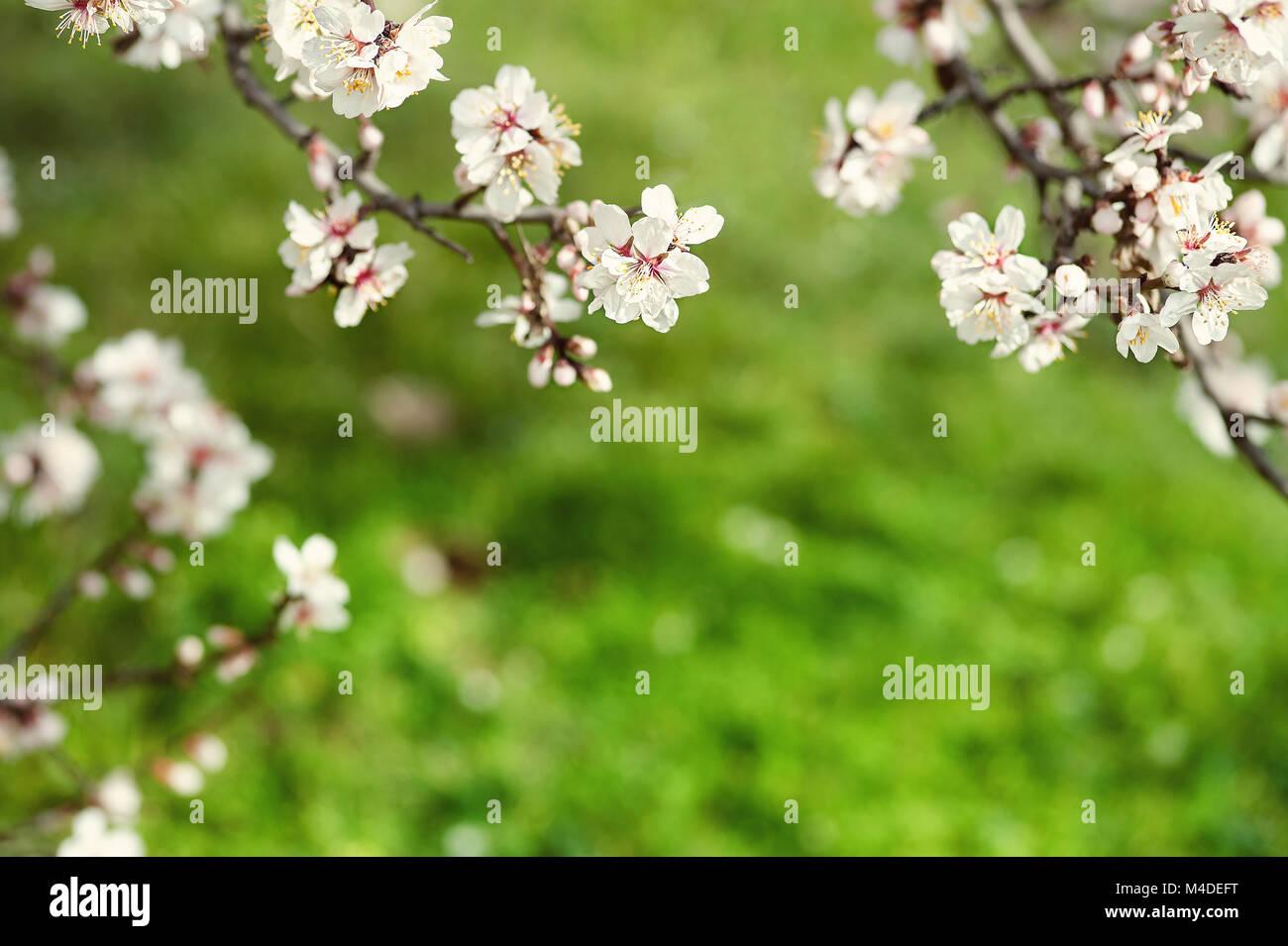 Fiori Bianchi Di Primavera.Primavera Naturale Dello Sfondo Fiore Di Primavera Sfondo