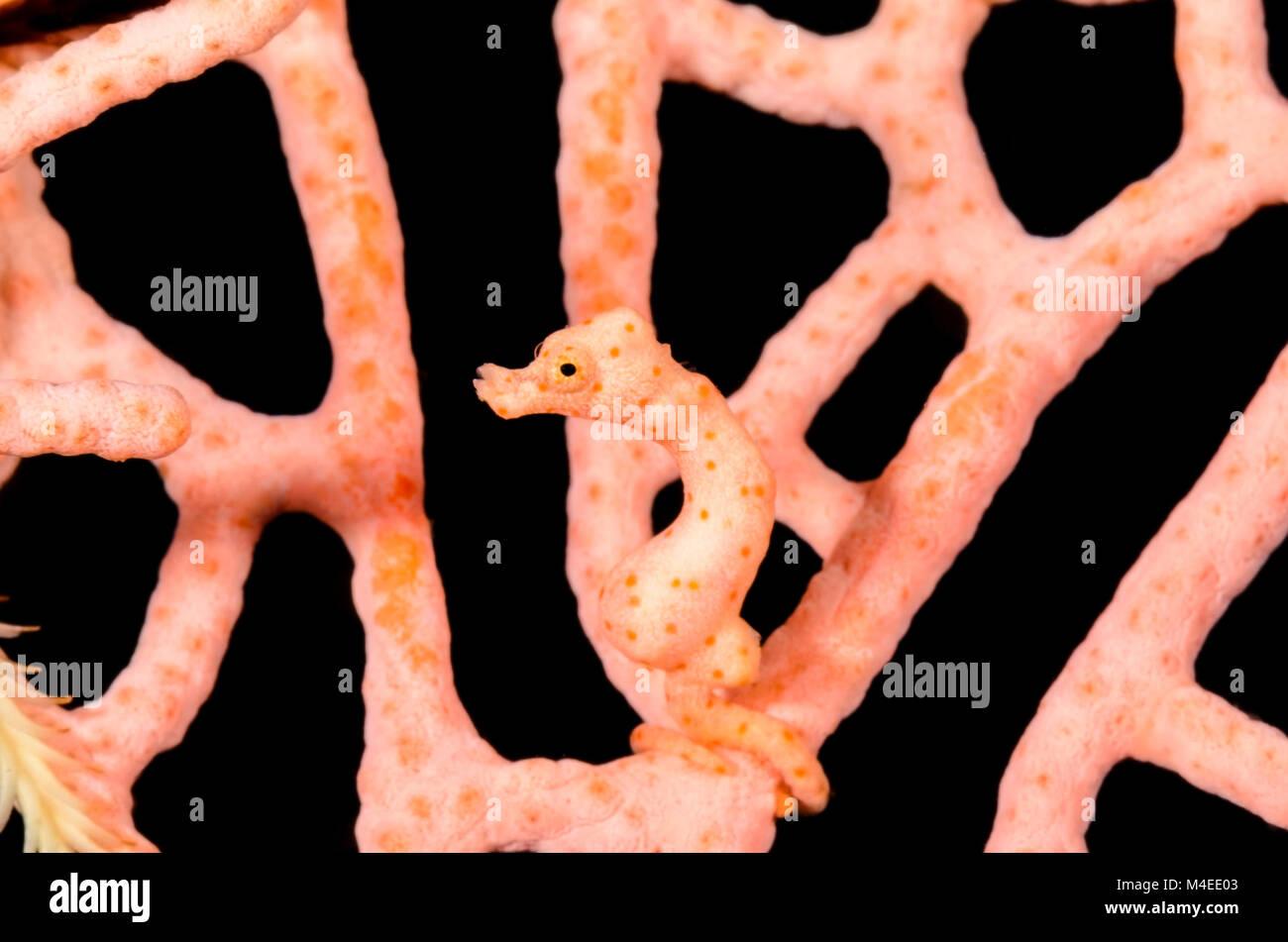 Di Denise cavalluccio marino pigmeo, Hippocampus denise, Lembeh strait, Nord Sulawesi, Indonesia, il Pacifico Immagini Stock