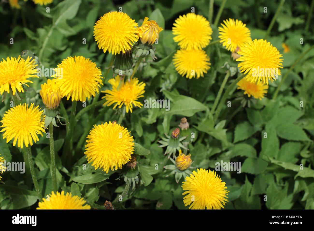 Fiori Gialli Tarassaco.Fiori Gialli Tarassaco Su Sfondo Verde Foto Immagine Stock