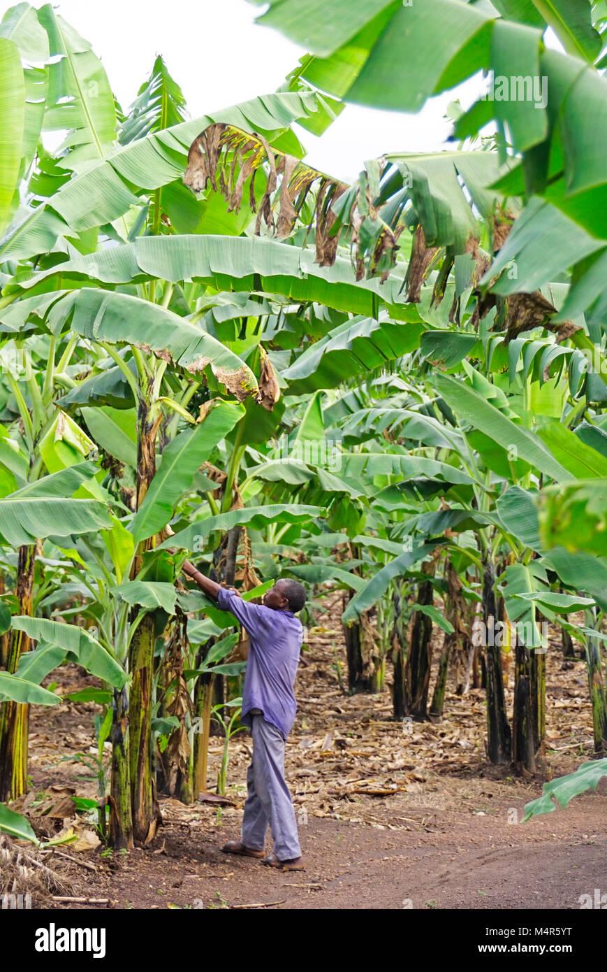 Pianta Di Banana Foto piantagione di banane lavoratore trimming piante di banana a