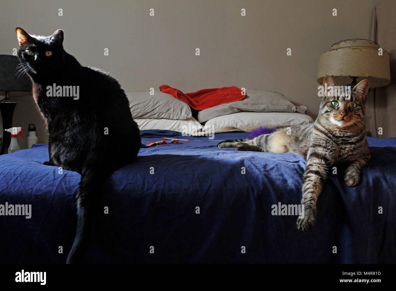 2 gatti pone su un letto grande. Immagini Stock