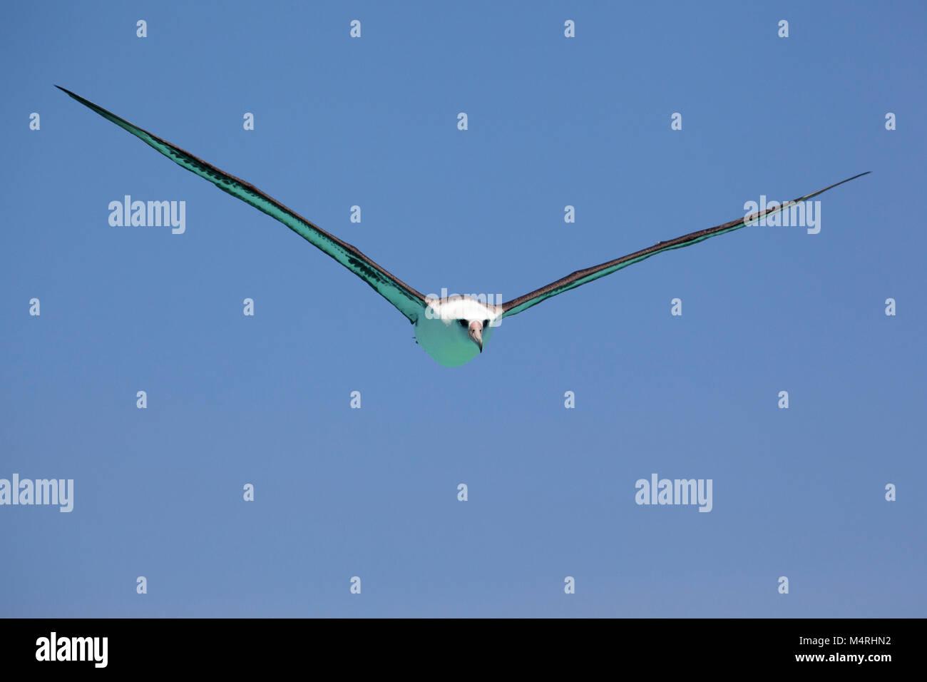 Il colore turchese di Laysan Albatross il lato inferiore, riflessa da un atollo poco profonda laguna, era un strumento Foto Stock