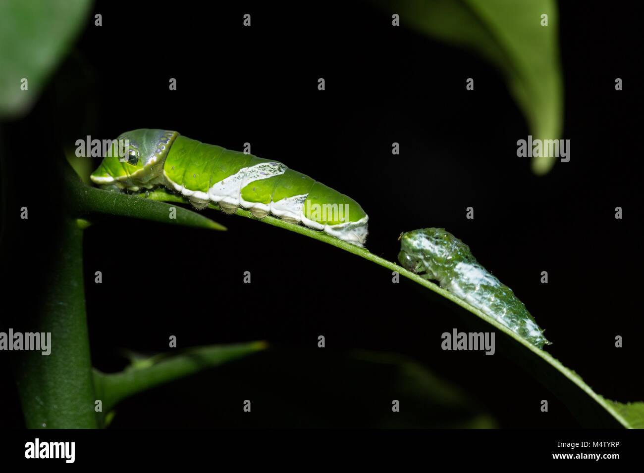 Il bruco di farfalla Papilio Polytes mangia foglie di limone Immagini Stock