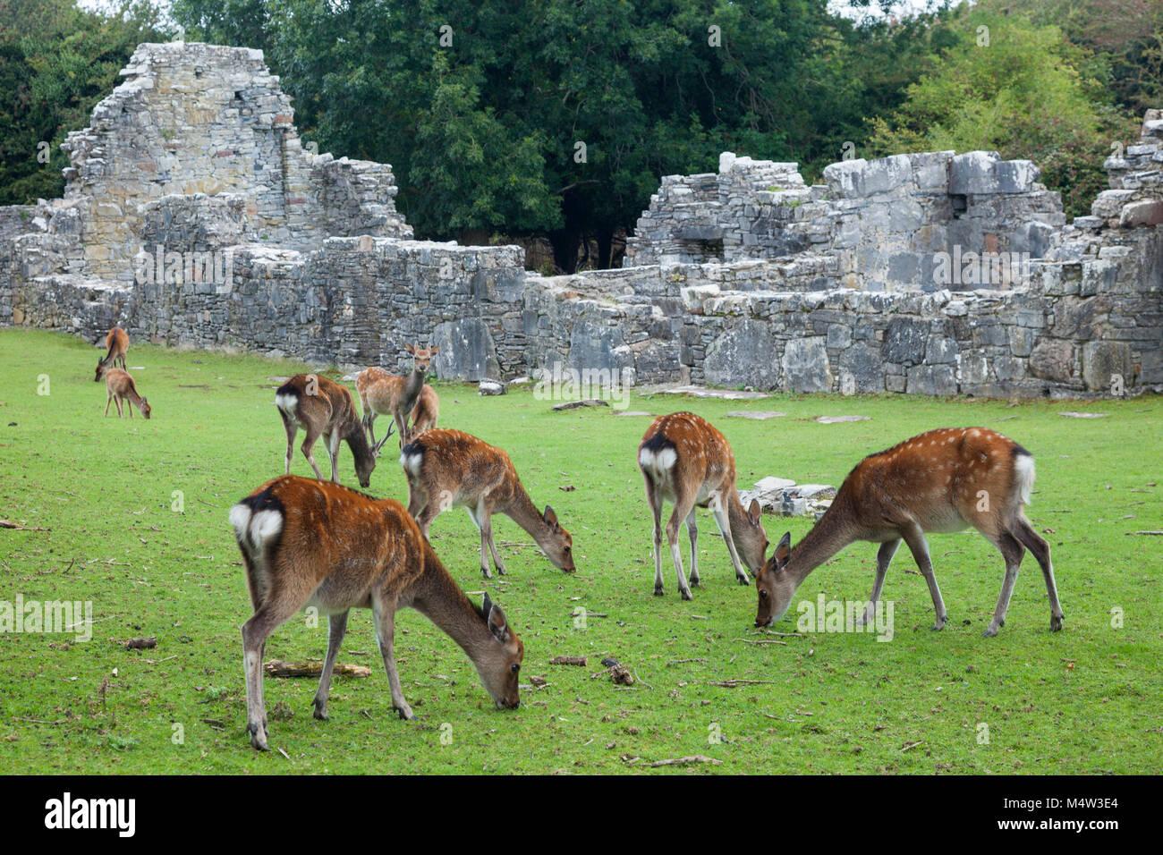 Cervi Sika e le rovine dell'abbazia sull isola Innishfallen, Parco Nazionale di Killarney, nella contea di Kerry, Immagini Stock