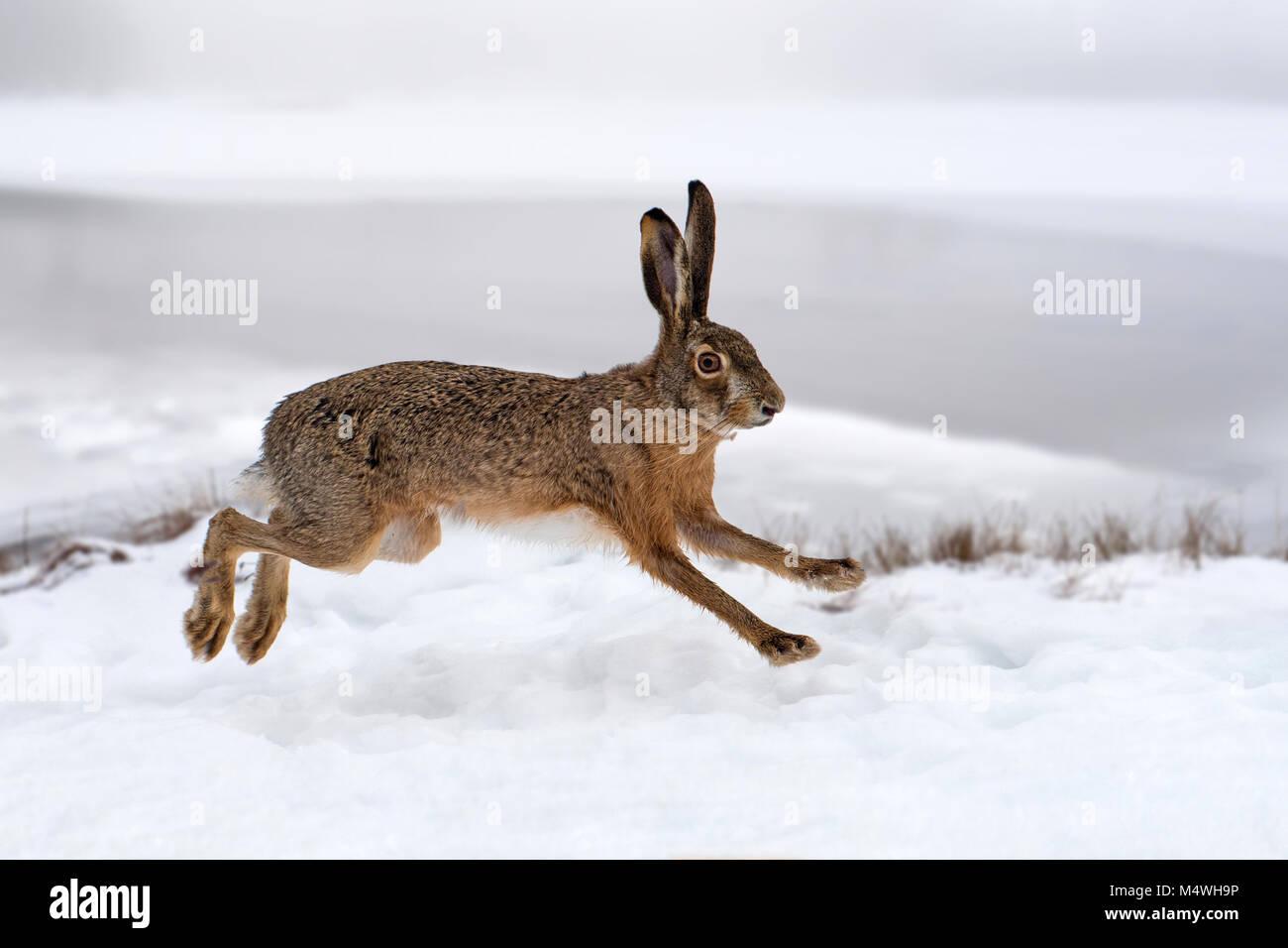 Lepre in esecuzione in campo invernale Immagini Stock