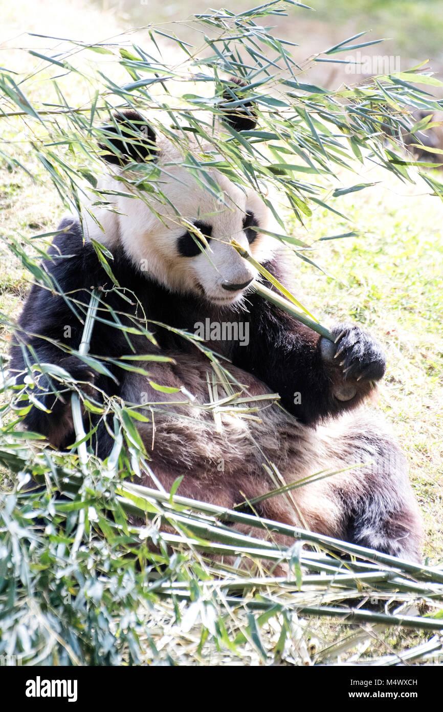 Madrid, Spagna. 18 Febbraio, 2018. Un panda gigante (Ailuropoda melanoleuca) si appoggia a Zoo di Madrid il 18 febbraio 2018 a Madrid, Spagna. ©David Gato/Alamy Live News Foto Stock