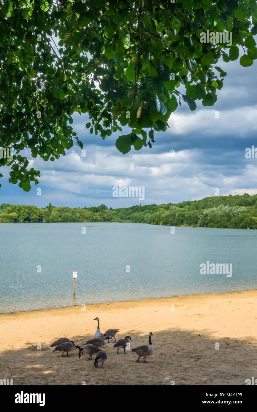 Anatre in riva al lago Immagini Stock
