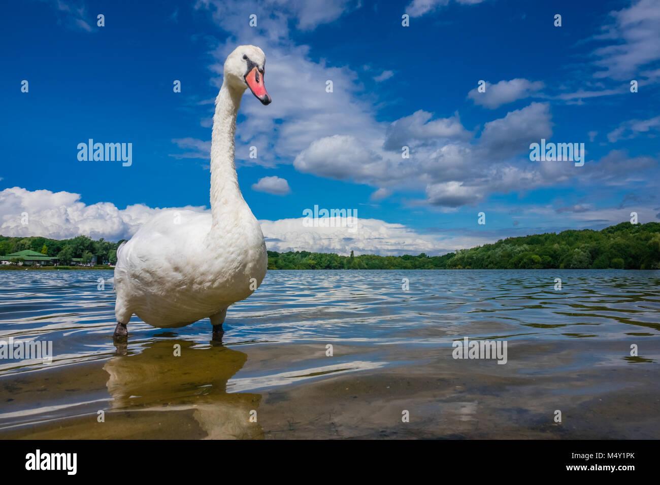 Large White Swan sul lungolago Immagini Stock