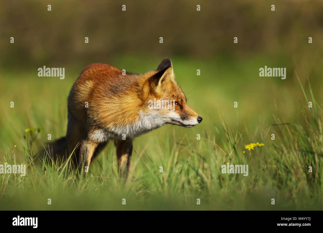 Red Fox in piedi nel campo di erba, UK. Immagini Stock