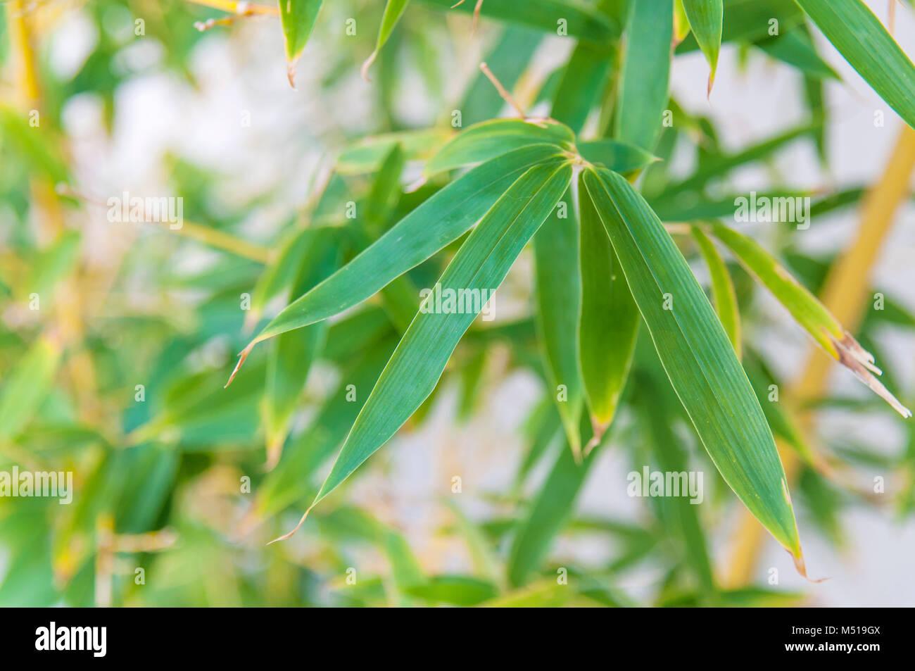 Foglie di bambù vicino con sfondo sfocato Immagini Stock
