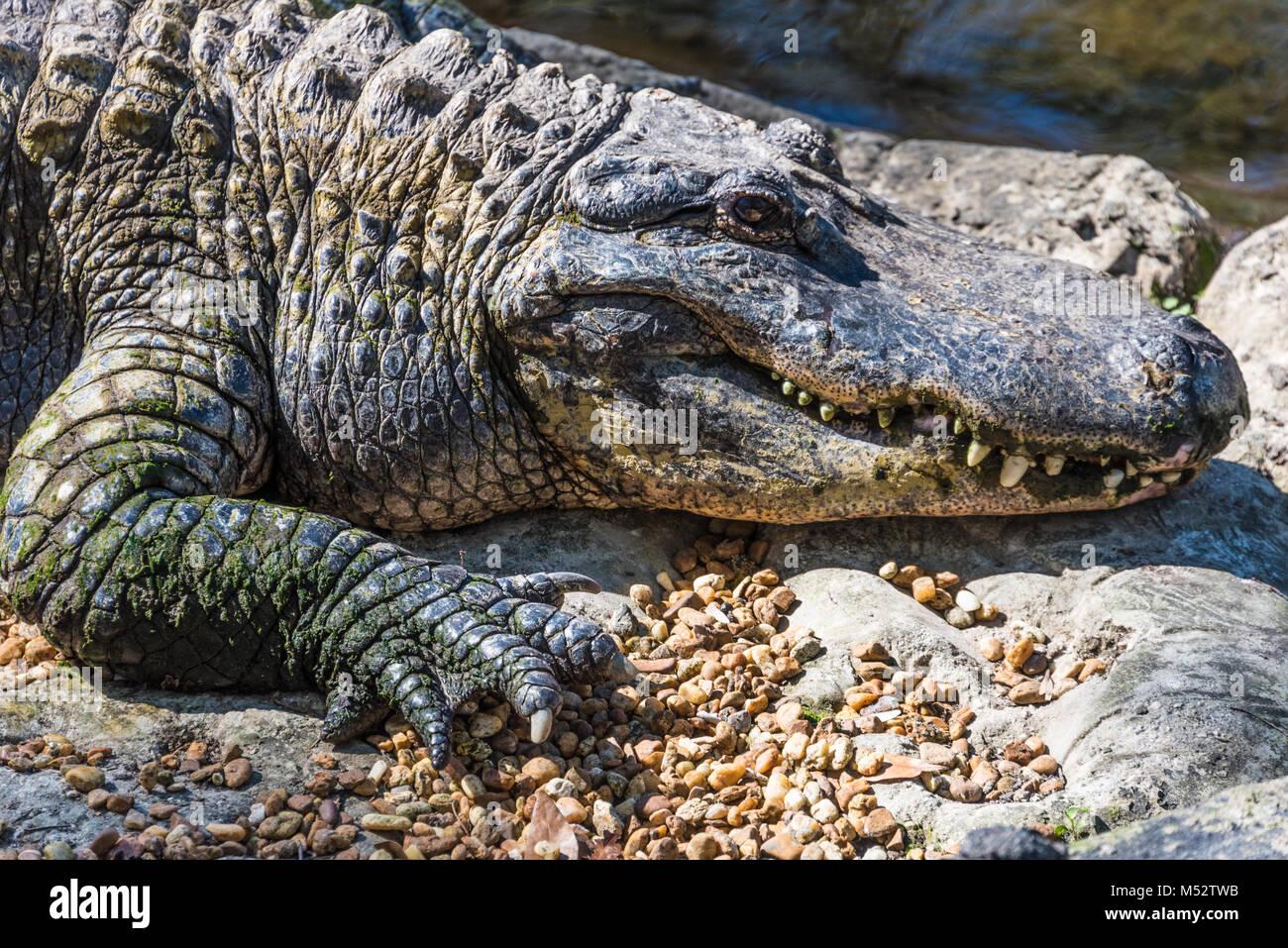 Grande coccodrillo americano (Alligator mississippiensis) a molle Homosassa Wildlife parco dello stato sulla costa Immagini Stock