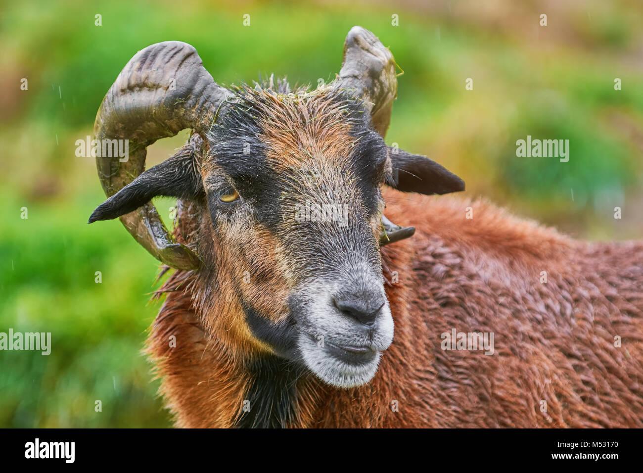 Portret di Ram Immagini Stock
