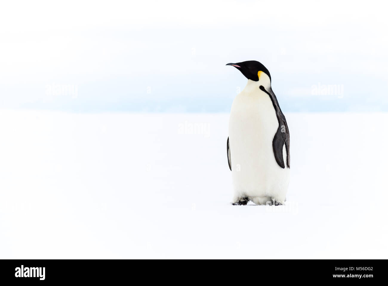 Pinguino imperatore, Ross Ice Shelf, Antartide Immagini Stock