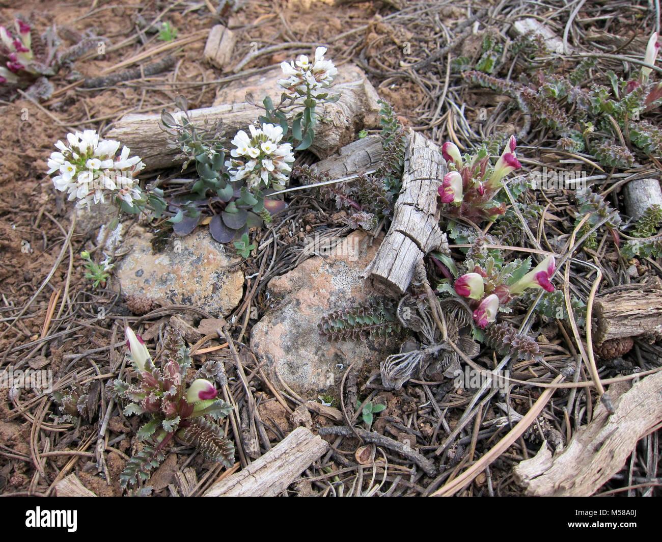Grand Canyon Nat Park South Rim prima della molla. Due fiori che compaiono sul bordo sud in primavera sono (sinistra) Immagini Stock