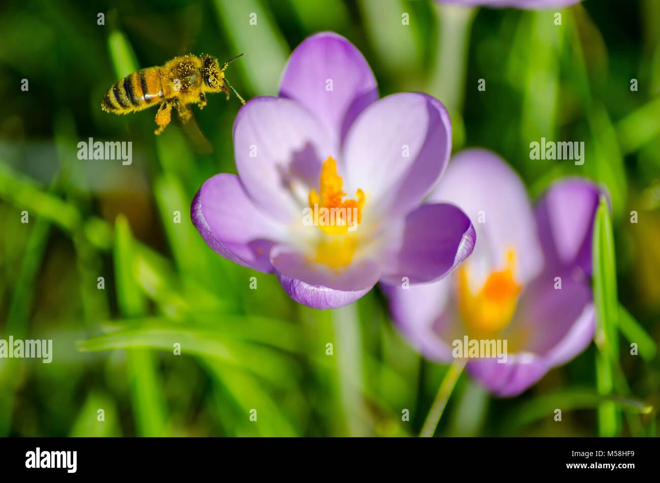 La bellezza e l'ape. Close up di un miele delle api e alcuni viola di crochi. Immagini Stock