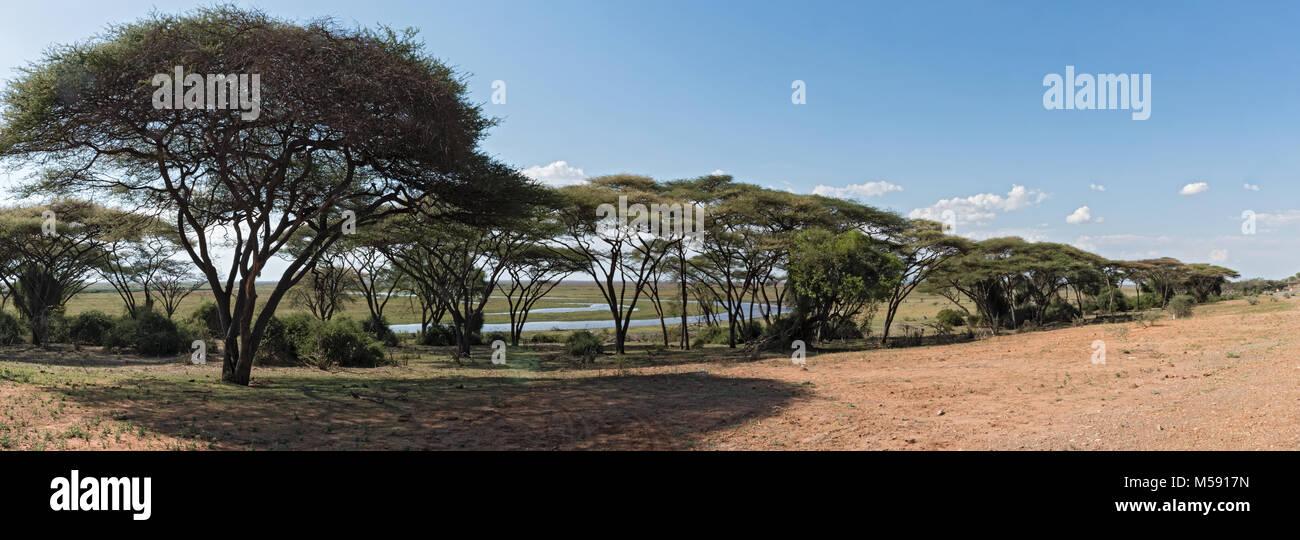 Foresta di Acacia sulla banca del fiume Chobe in Botswana Immagini Stock